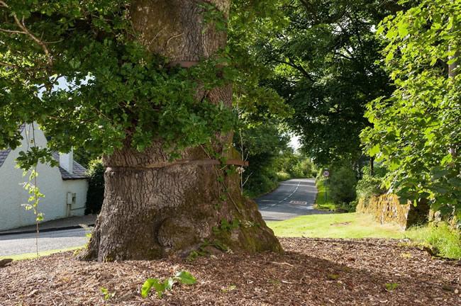 Balfron's Clachan Oak