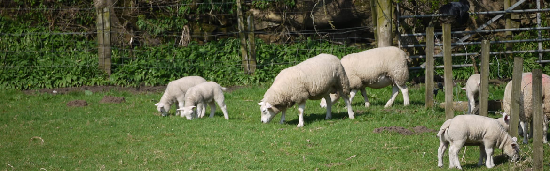 sheep slide